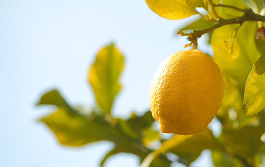 Lemon on a tree